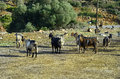 Greece crete flock of goat Royalty Free Stock Images