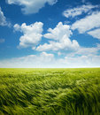 Greed wheat field and blue sky with clouds white Royalty Free Stock Photo