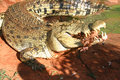 Greedy crocodile Royalty Free Stock Photo