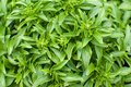 Greek basil plant Royalty Free Stock Photos