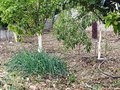 Greek Village Garden patch With Fruit Trees, Greece Royalty Free Stock Photo
