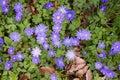 Greek Windflowers or Anemone Blanda Royalty Free Stock Photo