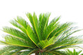 Greem leaves of cycad plam tree plant isolated white background use for garden and park decorated Royalty Free Stock Image