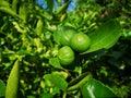 green lime, lemom tree plant Royalty Free Stock Photo