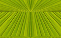 Green abstract background from leaf pattern palm Royalty Free Stock Image