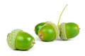Green acorn fruits Royalty Free Stock Photography