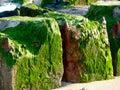 Green alga on stones at the north sea beach Royalty Free Stock Photography