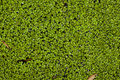 Green Algae Background Royalty Free Stock Photos