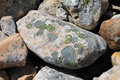 Green algae circles on rock with and yellow growing in a Royalty Free Stock Image