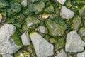 Green algae. Royalty Free Stock Photo