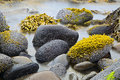 Green algae or seaweed on boulders at rocky shore of wild coastline nature detail coast landscape background Royalty Free Stock Image