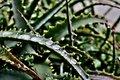 stock image of  Green aloe with long leaves on which drops of water after rain