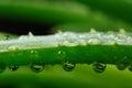 Green Aloe Vera Leaf with Water Drops Macro