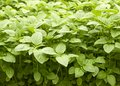 Green amaranth field background, leaf vegetable, cereal plant, source of proteins and amino acids growing in the garden