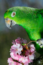 Green amazon parrot Stock Photos