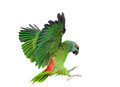 Green amazon parrot in flight Stock Photo