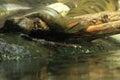 Green anaconda Royalty Free Stock Photo