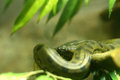 Green anaconda close up in the jungle Royalty Free Stock Photo