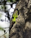 Green anole lizard on a tree in natural environment Royalty Free Stock Photo