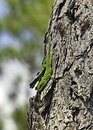 Green anole lizard on a tree in natural environment Royalty Free Stock Photography