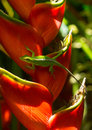 Green Anole Lizard on Red Tropical Plant Royalty Free Stock Photo