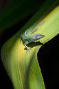 Green Anole on ti plant Stock Image