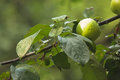 Green apple on apple tree branch grow with leaves under sunlight close up view Stock Photos