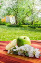 Green apple with a branch of blossoming apple tree Stock Image