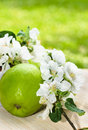 Green apple with a branch of a blossoming apple tree close up Stock Image