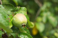 Green apple on a branch after rain Stock Images