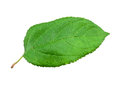 Green apple leaf on white background Royalty Free Stock Photo