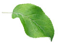 Green apple leaf on white Royalty Free Stock Photo