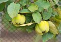 Green apple-quince on the branch Royalty Free Stock Photos