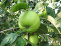 Green apple on tree Royalty Free Stock Images