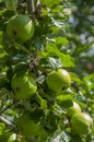 Green apples image of hanging on a tree Royalty Free Stock Image