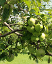 Green apples ripen on a branch