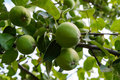 Green apples on a tree branch Royalty Free Stock Photo