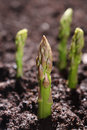 Green asparagus spear emerging through the soil Stock Photography