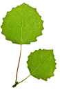 Green aspen leaf Royalty Free Stock Photo