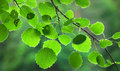 Green aspen leaves close up of in evening light Stock Photos
