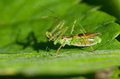 Green assassin bug Stock Image