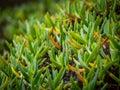 Green azorean plants Royalty Free Stock Photo