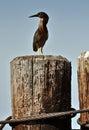 Green-backed Heron Royalty Free Stock Photo