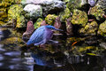 Green backed heron butorides virescens in water with reflection and moss covered rocks in background Stock Photos
