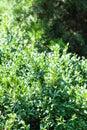 Green background from boxwood shrub and Thuja tree Royalty Free Stock Photo