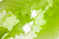 Green background salad lettuce macro soft focus Stock Photography