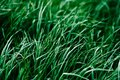 Green background texture of long grass sedge.Green plants. natu Royalty Free Stock Photo