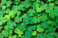 Green background with three-leaved shamrocks. Royalty Free Stock Photo