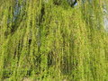 Green background willow branches with fresh leaves usable as Stock Images
