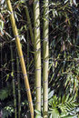 Green bamboo canes group 1 Royalty Free Stock Photo